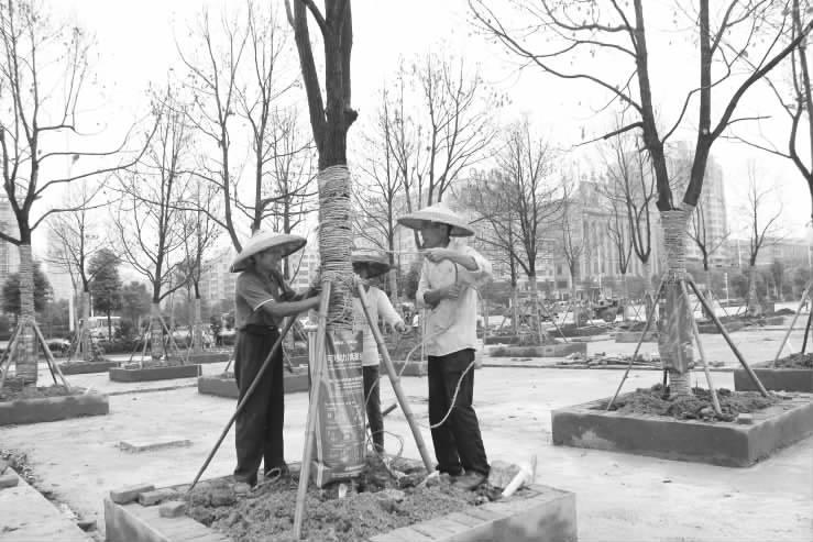 市区魏源广场增绿提质改造工程正在紧张建设中。工程竣工后,该广场将新增绿地面积2000多平方米,新增植物品种20多个。同时,该广场增设游客休憩区。图为6月30日上午,园林工人正在林荫树阵区给新栽植的香樟树进行绕绳固定。 伍洁摄