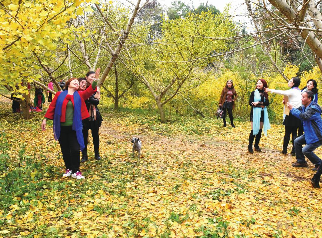 近日,正是银杏树叶变黄季节,该县谷洲镇六合村袁家山的10亩银杏树构成